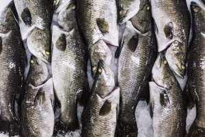 Australis Barramundi_Group_Of_Fish