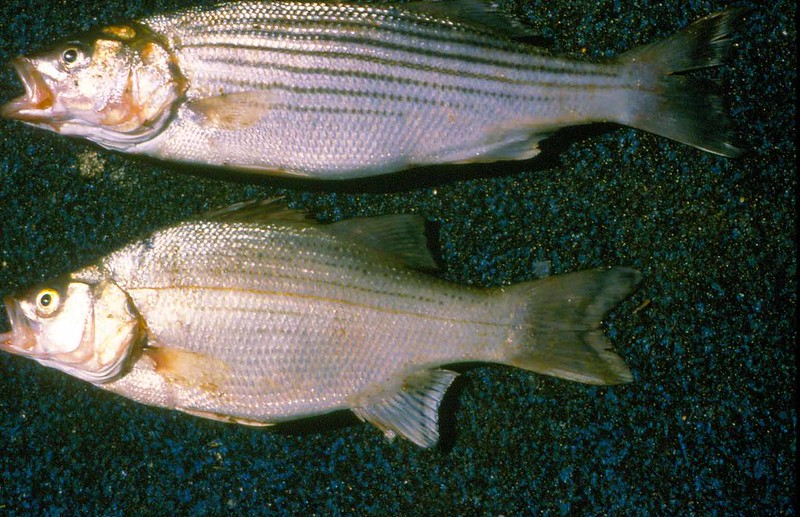Comparing a true striped bass with a hybrid striped bass.