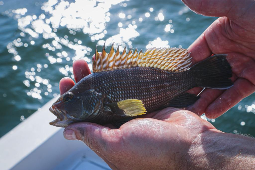 Hands holding a small black seabass.