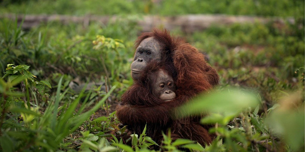 Orangutans: why you shouldn't buy palm oil unless it's low impact