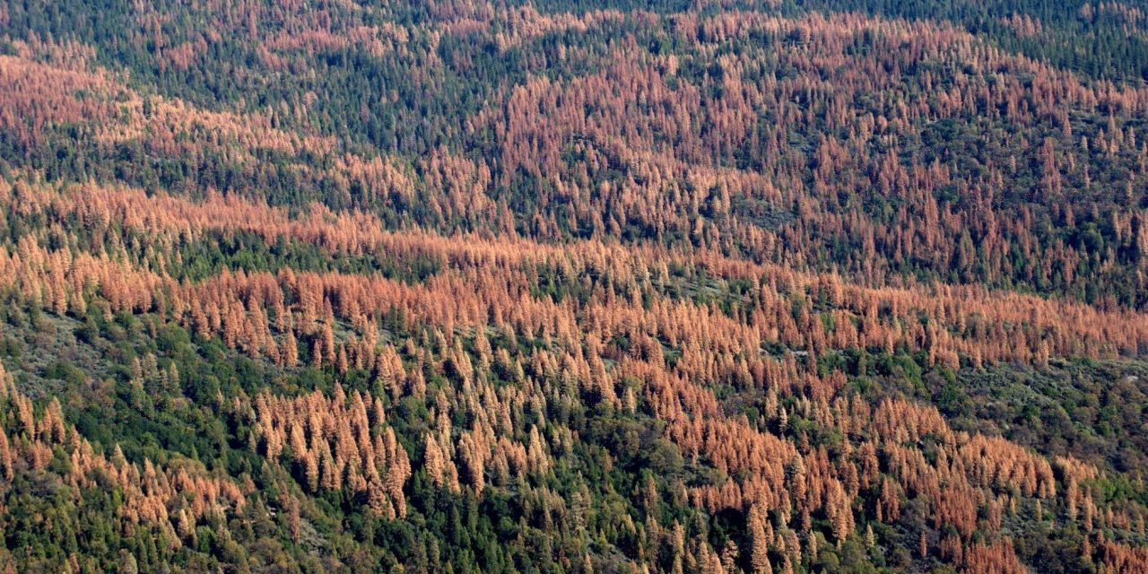 150 million trees died in California's recent drought, and worse is to come