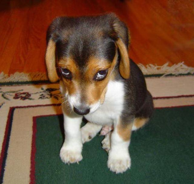 bad puppy dog regret shame anguish