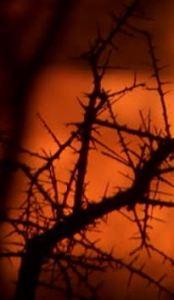 night thorns