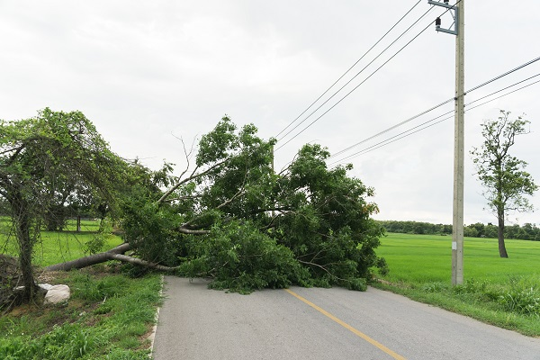 Large tree fallen and block the road surrounded