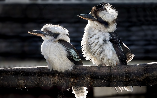 pair of kookaburra birds sat on a branch