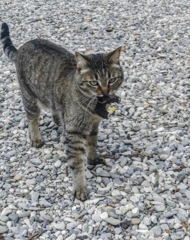 small grey striped cat outside on pebbles carrying a small black bat in her mouth