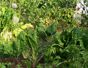 Swiss chard and lettuce in a local garden