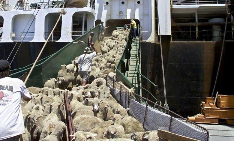 Autrslian Sheep on Cruise
