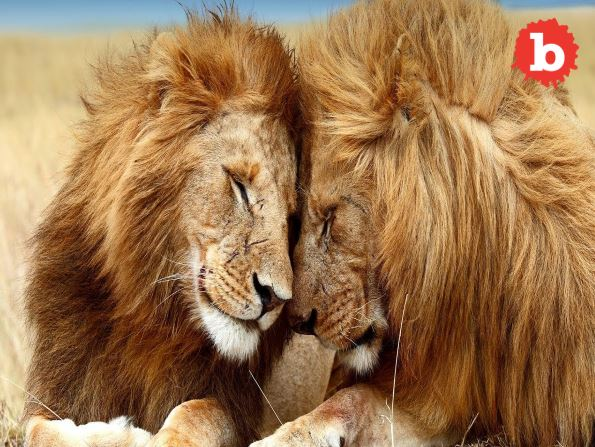Breaking Two Kenyan Lions Seen Having Gay Sex, Need Counseling
