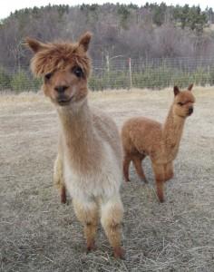 Klarice & Tebogo (5 year old alpacas)