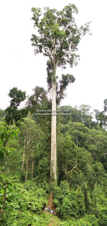The world's tallest tropical tree is a towering 94.1 metres 'seraya kuning siput' with a canopy measuring 40.3 metres in diameter.
