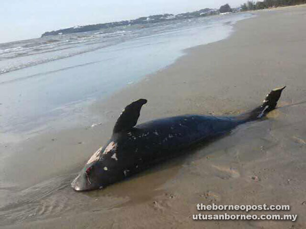 The dead dolphin and other marine life washed ashore at Luak.