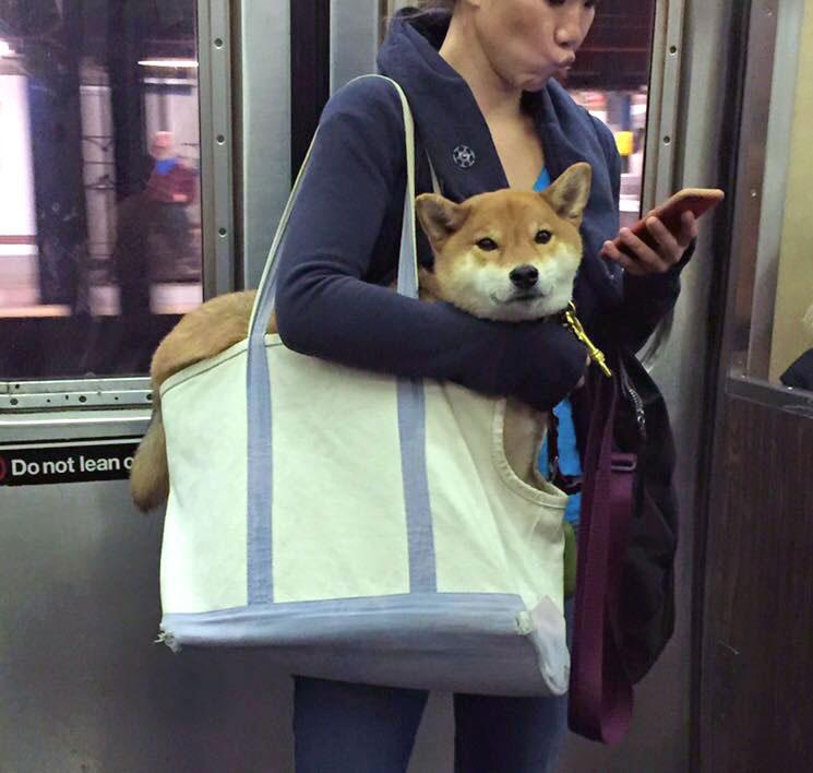 Shiba Inu Dog in a bag on the subway