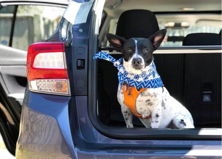 Dog in back of Subaru Impreza - Why We Love Subaru