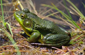 Frog by Chris Luczkow