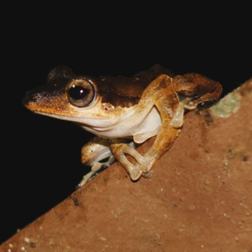Exploring Borneo Island Brown Frog