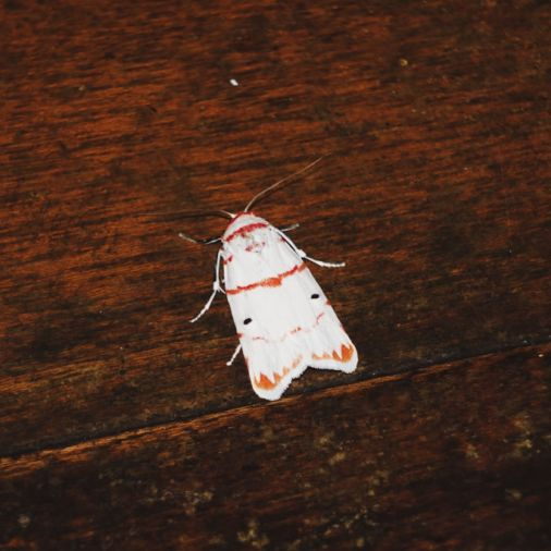 Exploring Borneo Island White Moth Red Stripe