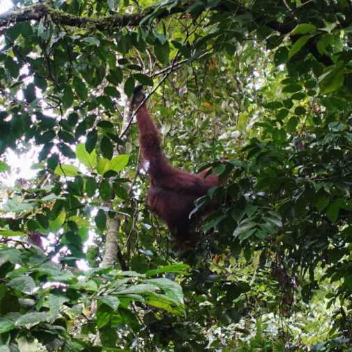 Exploring Borneo Island orangutan hanging from tree facing away