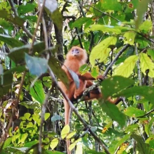 Howler Monkey Borneo Rainforest Lodge Sabah