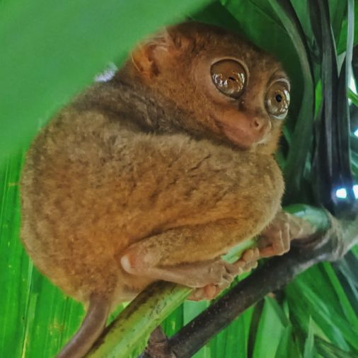 Pangloa and Bohol Island Tarsier Sanctuary in tree