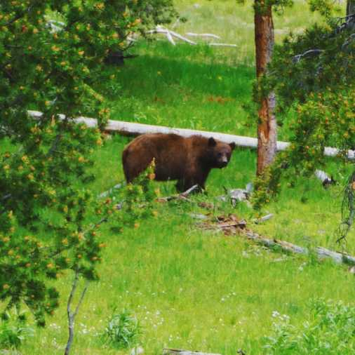 June grizzly bear sighting in Yellowstone.