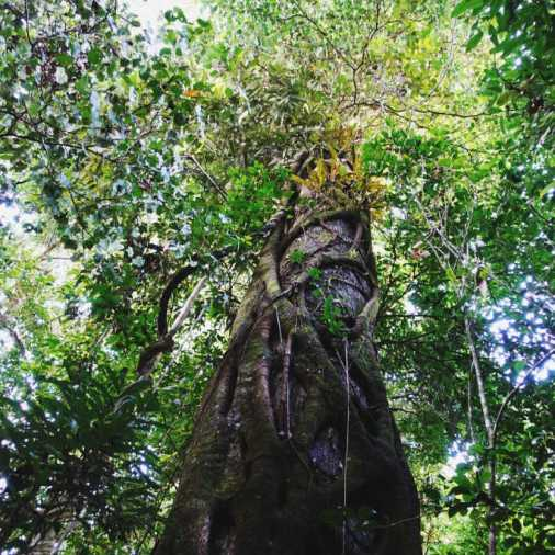 exploring borneo island looking up at world's tallest trees