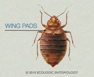 Do Bed Bugs Have Wings