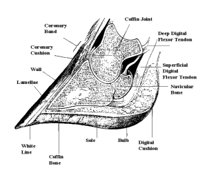 Diagram – cross section of the foot