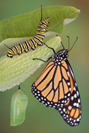 Fun article explains the Butterfly Life Cycle, has LOTS of life cycle images and a coloring page too!