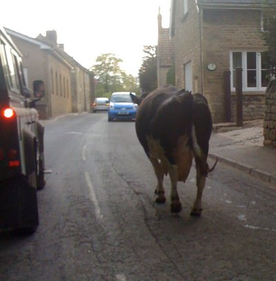 Cows loose in Little Bytham