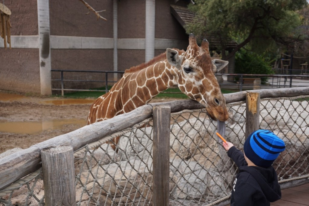 Looking for kid friendly activities in Tucson, Arizona? Feeding the giraffes at Reid Park Zoo is one of my son's favorite activities.