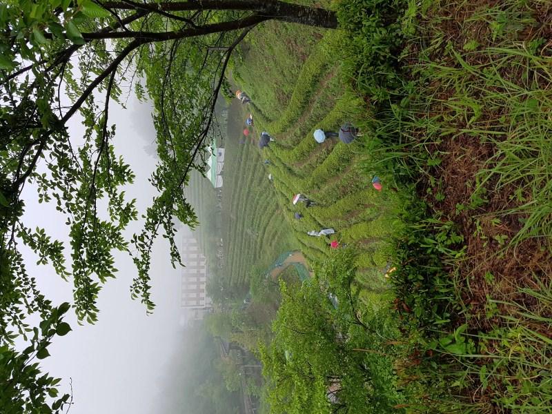 Green Tea Fields in Boseong