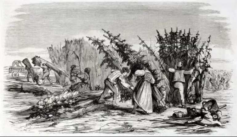 Illustration of colonists harvesting cannabis in the late 1800s