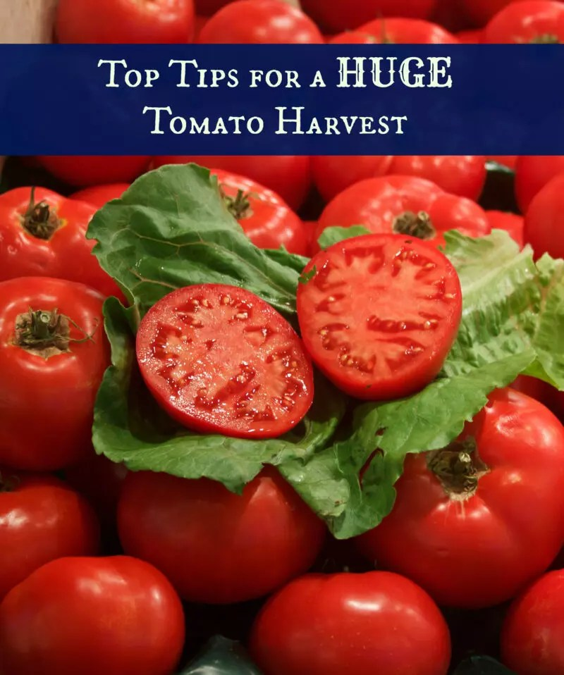 Top Tips for Huge Tomato Harvest