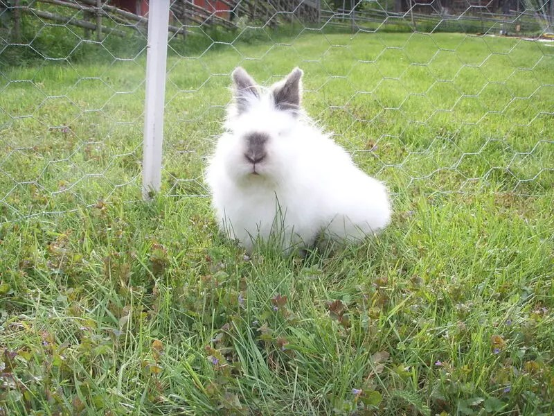 what breed angora rabbit is right for you