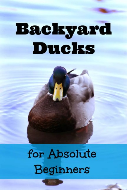 Thinking about getting ducks? Check out Backyard Ducks for Absolute Beginners!