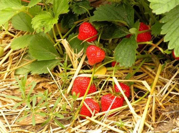 bare root strawberries