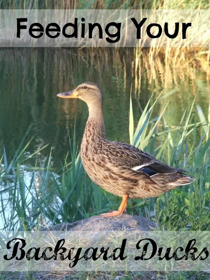 feeding your backyard ducks the cape coop