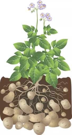 Growing Potatoes in your Backyard