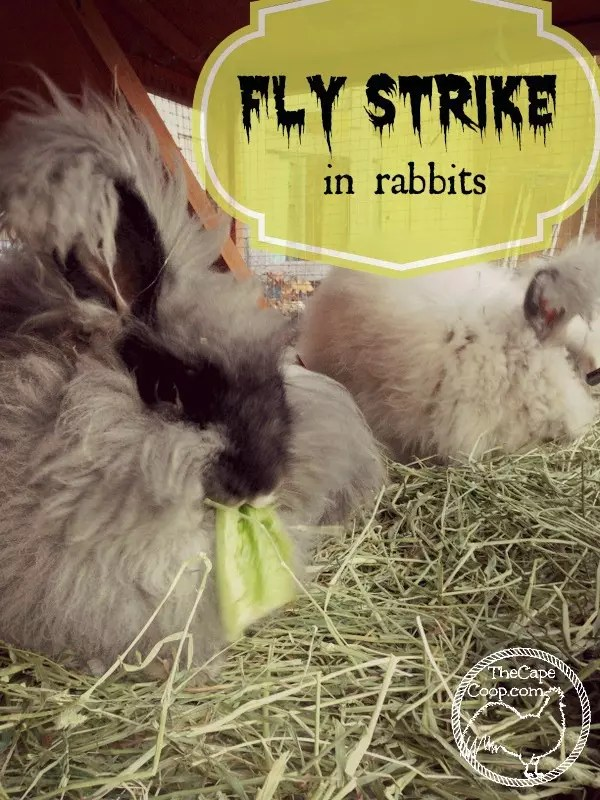 Fly Strike In Rabbits The Cape Coop