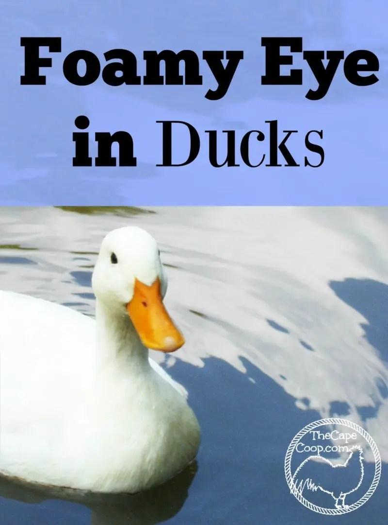 Foamy Eye Disease In Ducks The Cape Coop
