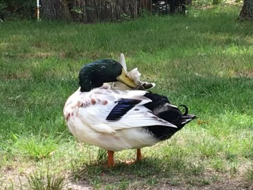 Duck Behavior