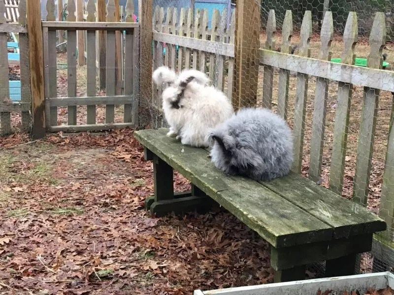 Why is my rabbit pulling out her fur? - The Cape Coop