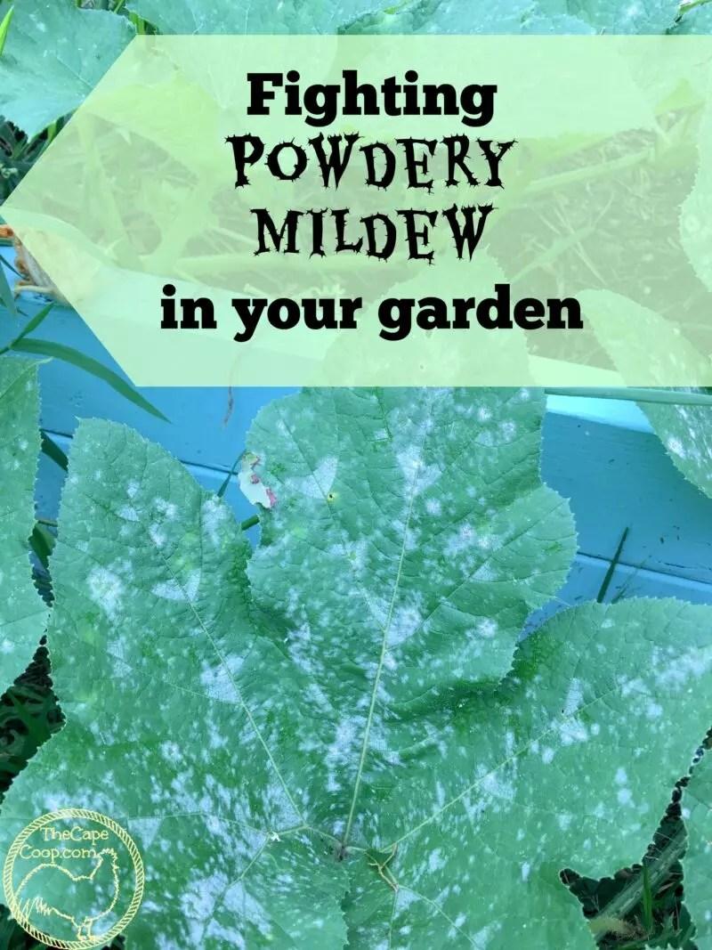 Fighting Powdery Mildew In Your Garden The Cape Coop