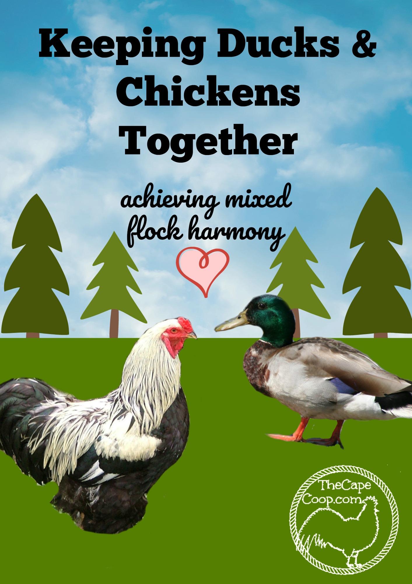 Raising Chickens Amp Ducks Together