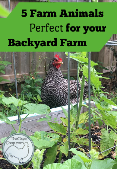 5 Farm Animals Perfect for your Backyard Farm - The Cape Coop