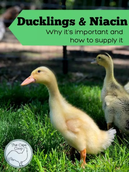Ducklings & Niacin, why it's important and how to supply it