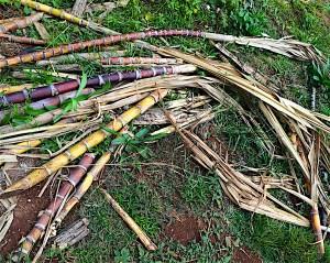 kohana-sugar-cane
