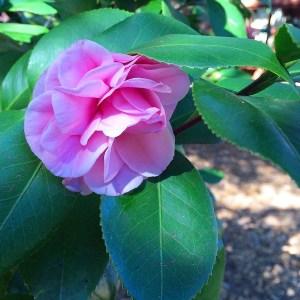 garden-japonica