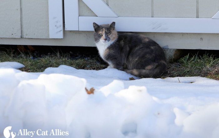 outdoor feral cats during winter